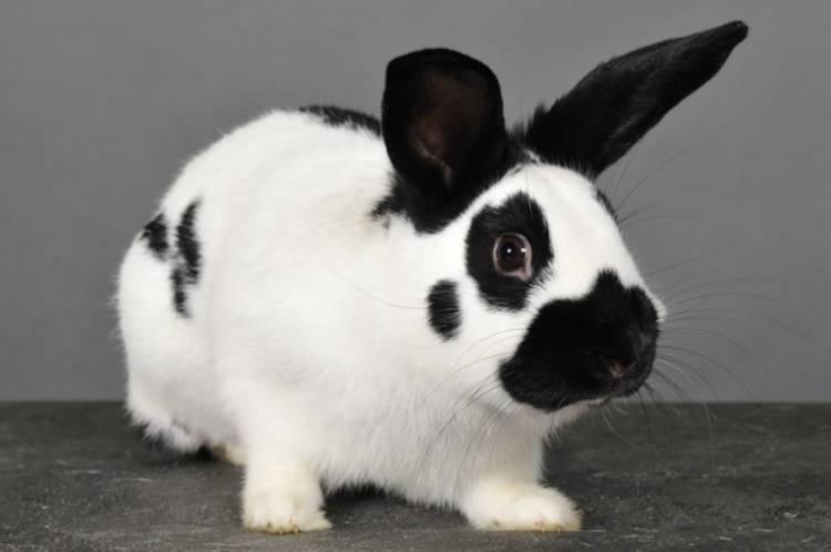 Кролик бабочка: описание породы и характеристика