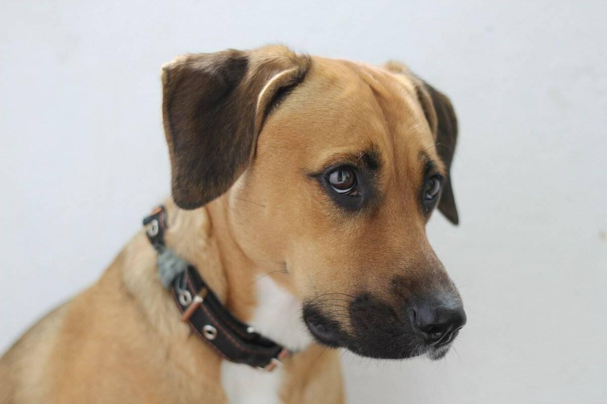 Собаки метисы: фото собаки, цена, описание породы, характер, видео собаки метисы: фото собаки, цена, описание породы, характер, видео