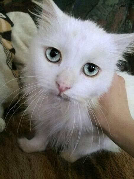 Почему белые и голубоглазые кошки глухие от рождения? - gafki.ru