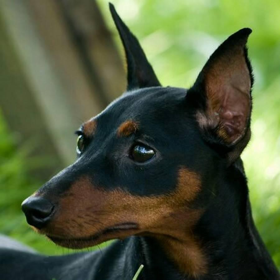 Внешний вид, поведение и содержание собаки мини-доберман