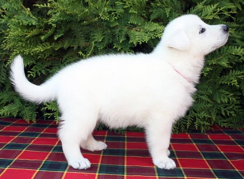 Очаровательные собаки разных пород, отличительная особенность которых – белоснежный окрас (19 фото)