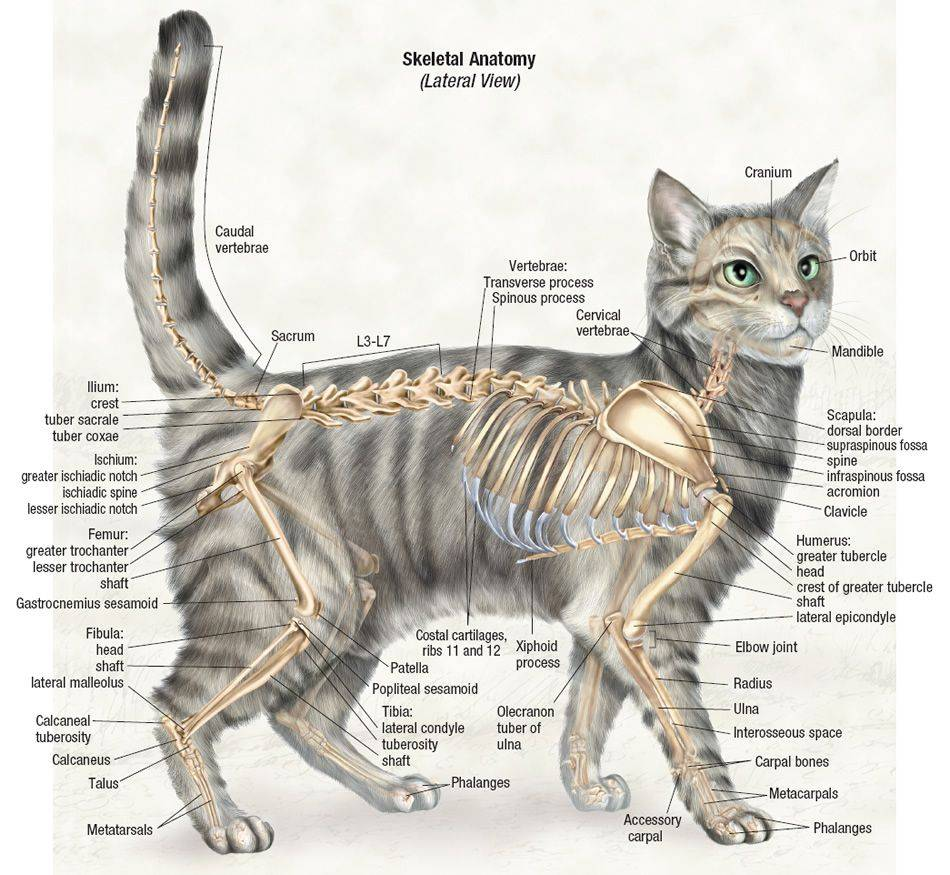 Анатомия кошки: строение скелета и черепа - все о суставах