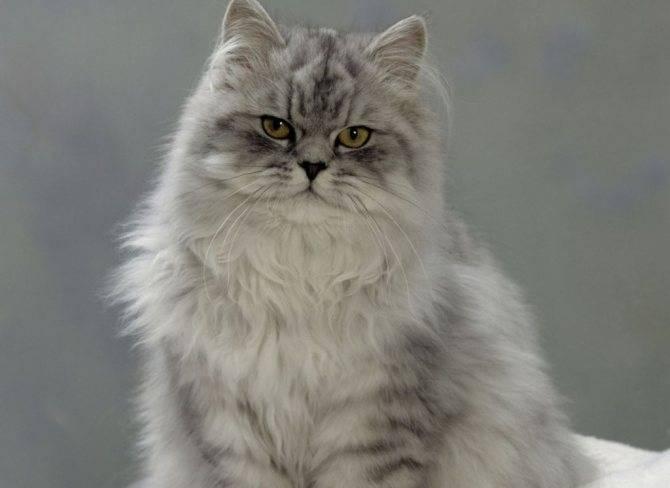 Персидская кошка: описание, характер, особенности ухода и фото ?