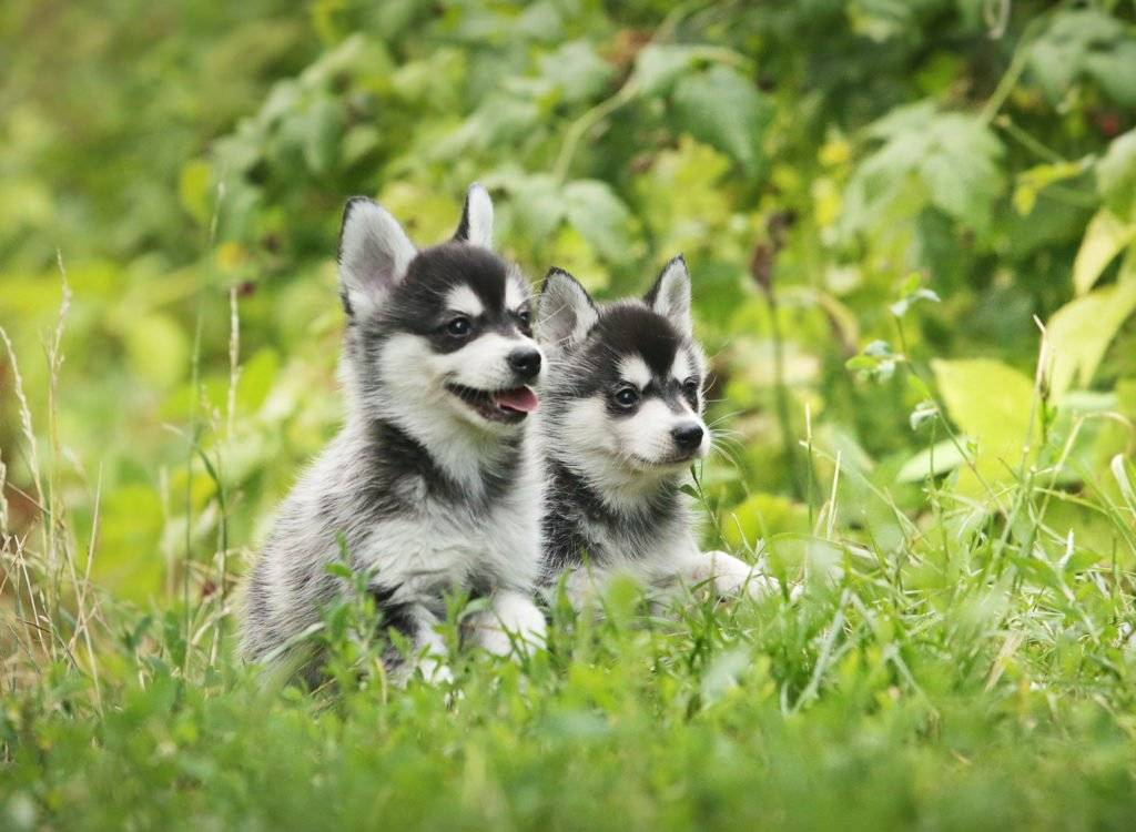 Аляскинский кли кай: мини хаски - описание этой миниатюрной породы собак, цена, фото, где лучше купить щенка, известные питомники в россии, а также отзывы владельцев