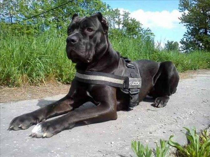 Американский бандог: описание и характеристика породы собак, содержание и уход