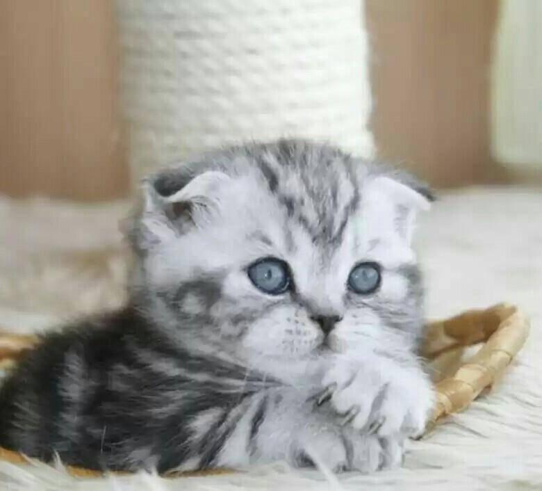 Порода кошки из рекламы вискас: название и описание