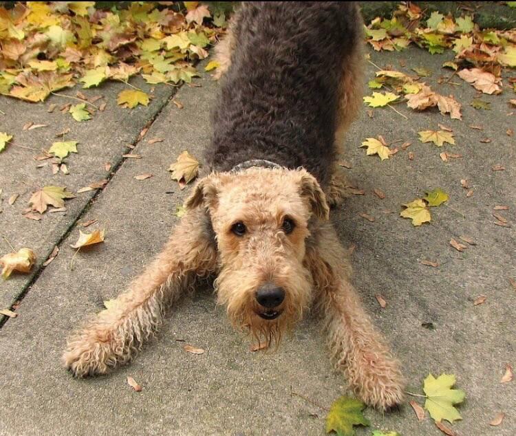 Эрдельтерьер: характеристика и описание породы собак