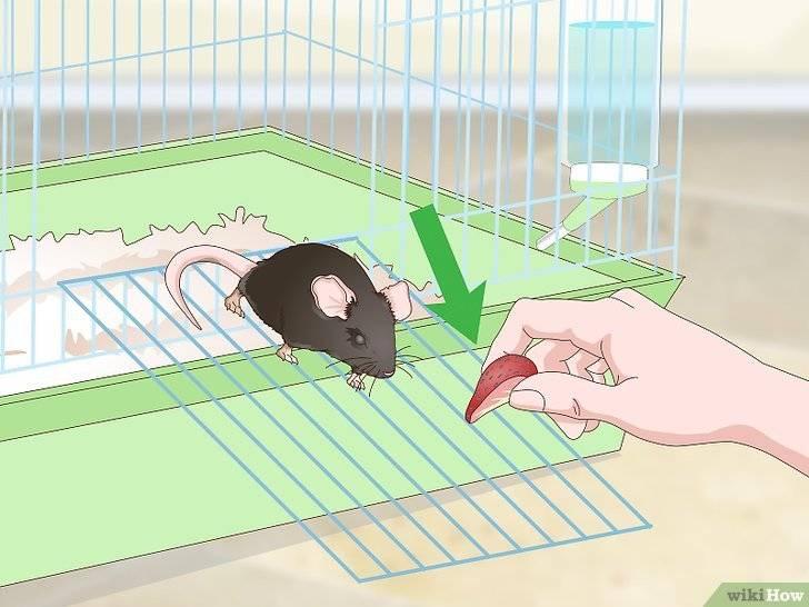 Как можно поиграть с крысой