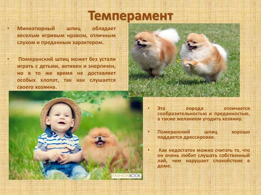 Померанский шпиц (pomeranian spitz): уход и содержание дома собаки померанец, описание породы, характер, кормление, виды, фото с названиями