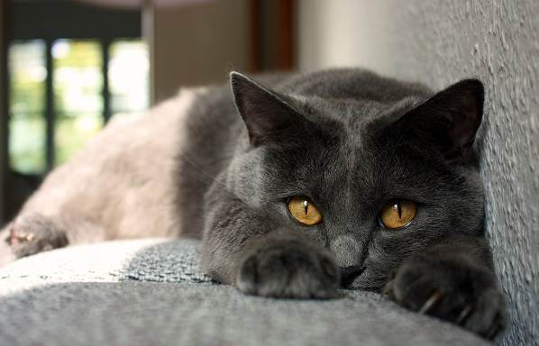 Шартрез (кошка): описание французской породы