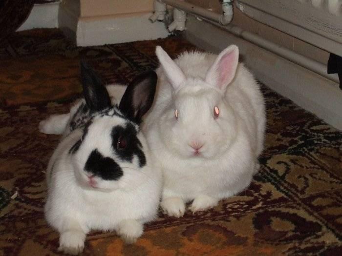Спаривание кроликов: почему крольчихи не приходят в охоту и как решить эту проблему