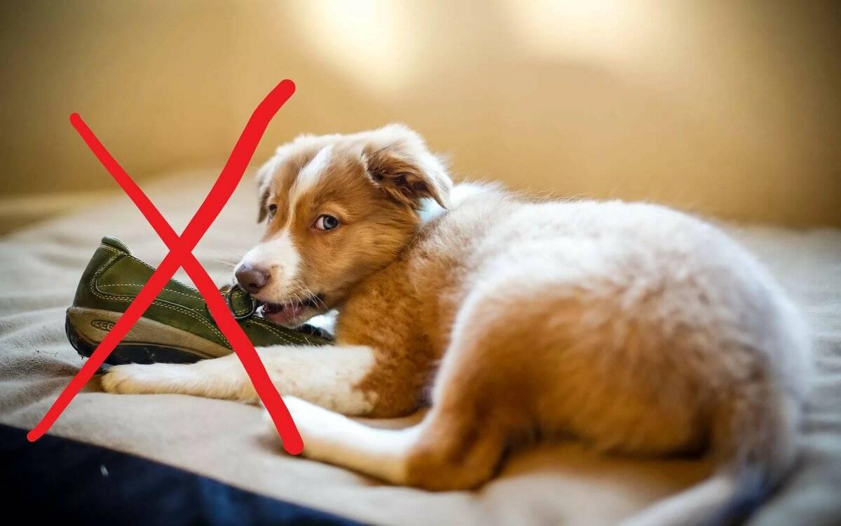 Как отучить собаку грызть вещи: проверенные способы