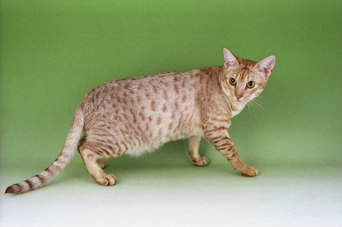 Анатолийские кошки: описание породы, особенности содержания