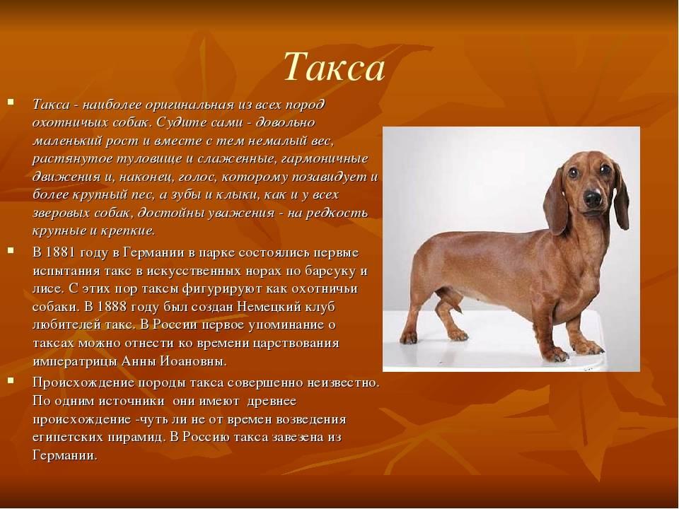 Собака английский сеттер: стандарты породы, характер и дрессировка