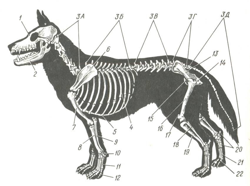 ᐉ скелет лошади: особенности строения, внутренние органы - zooon.ru