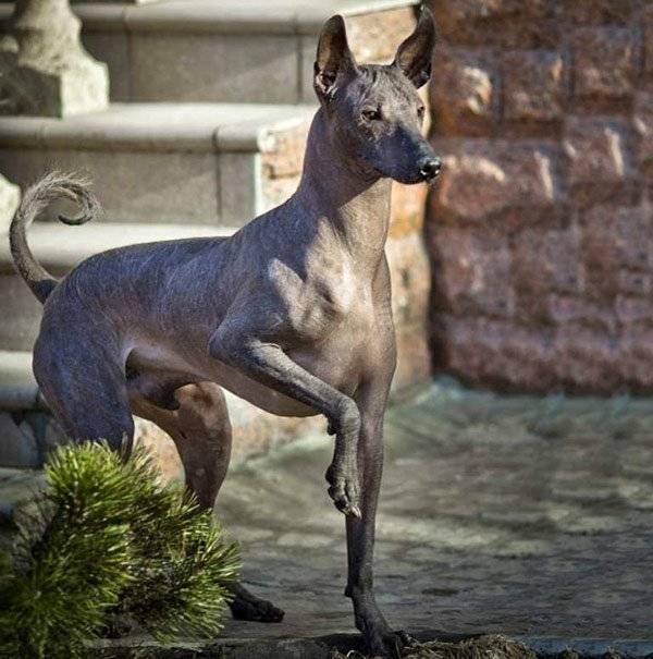 Ксолоитцкуинтли ? фото, описание, характер, факты, плюсы, минусы собаки ✔