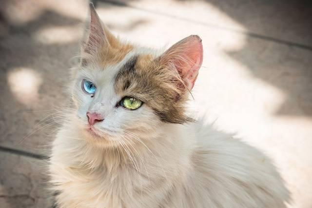 Порода кошек с разными глазами: 20 удивительных фото