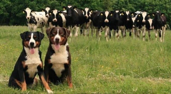 Характеристика собак породы аппенцеллер зенненхунд с отзывами и фото
