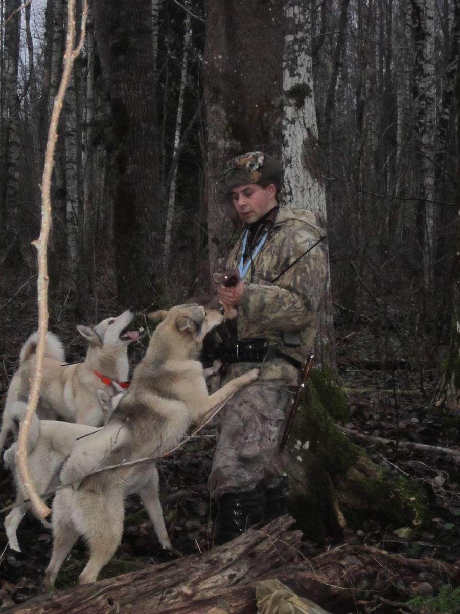 Лайка: уникальный охотник