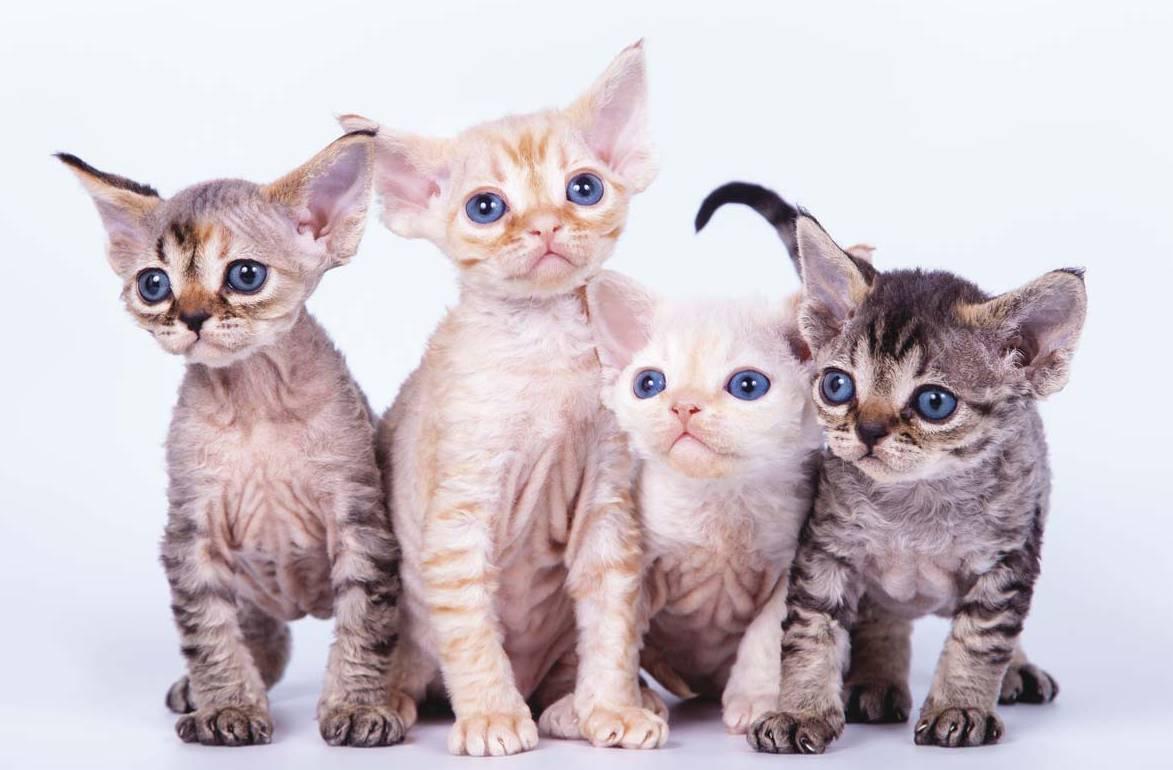 Гипоаллергенные кошки для аллергиков и астматиков: фото, список пород с описанием, видео