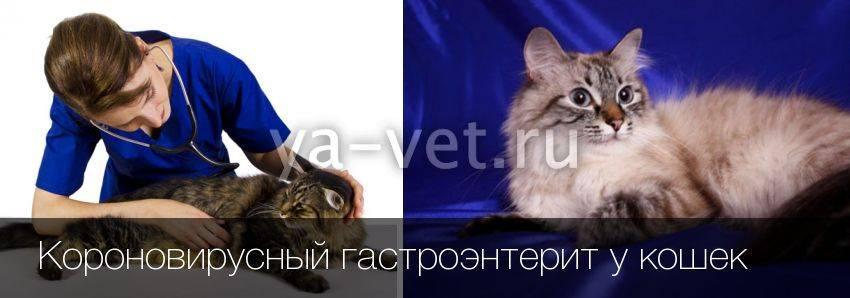 Симптоматика коронавирусной инфекции у кошки и простые способы лечения