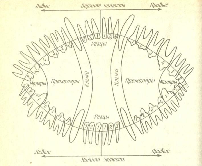 Зубная формула у собак. наследственность.
