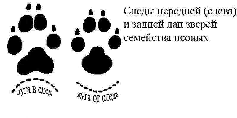 Как отличить волка от собаки | отличие следа, сходства, фото