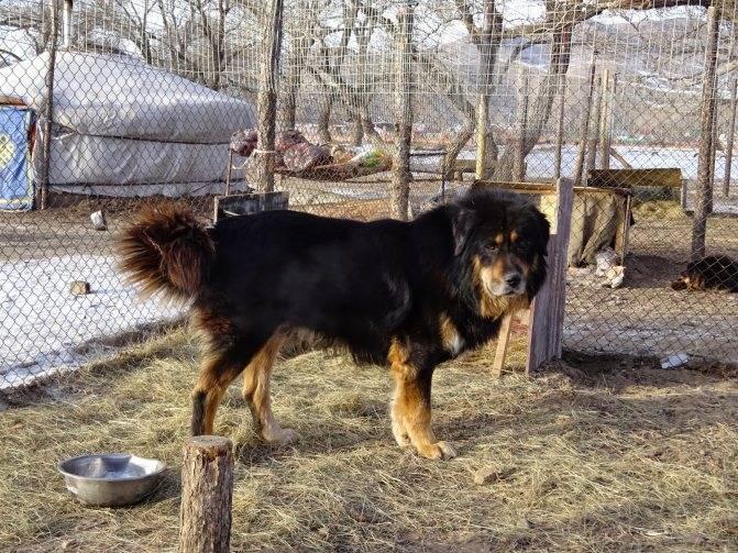 Бурят-монгольский волкодав: описание породы, фото