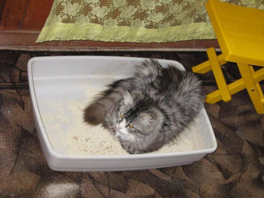 Запор у котенка: почему малыш не какает, что делать в домашних условиях, как ему помочь?