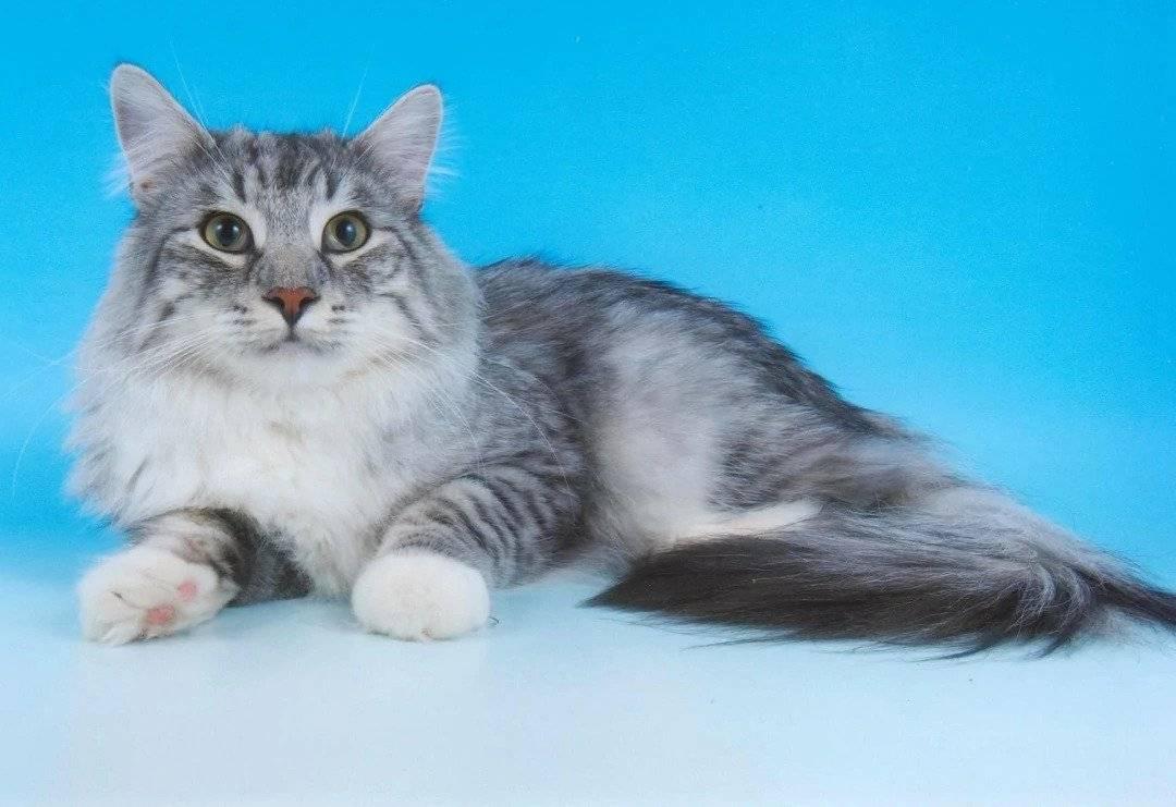 Норвежская лесная кошка: описание породы, характер, 30 фото, цена