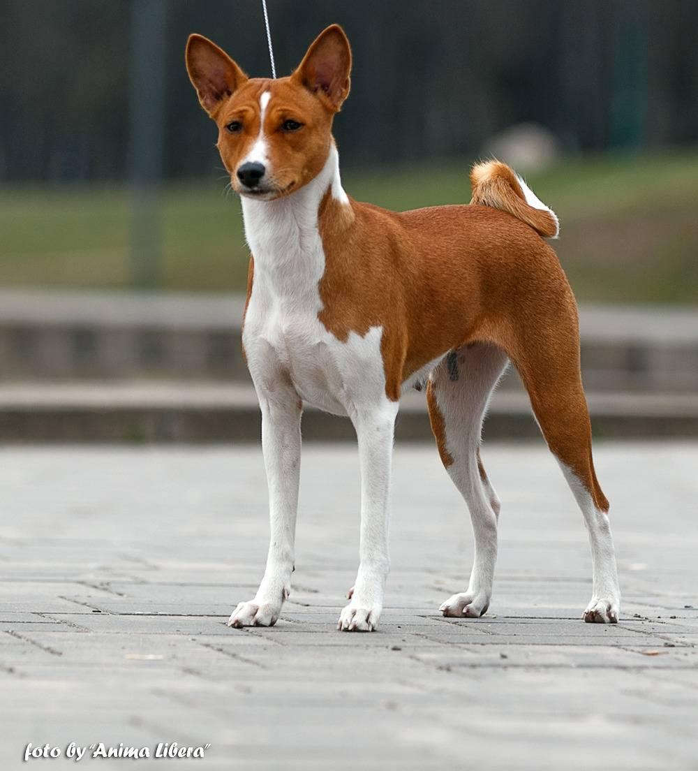 Собака басенджи: описание породы, характеристика собаки, фото