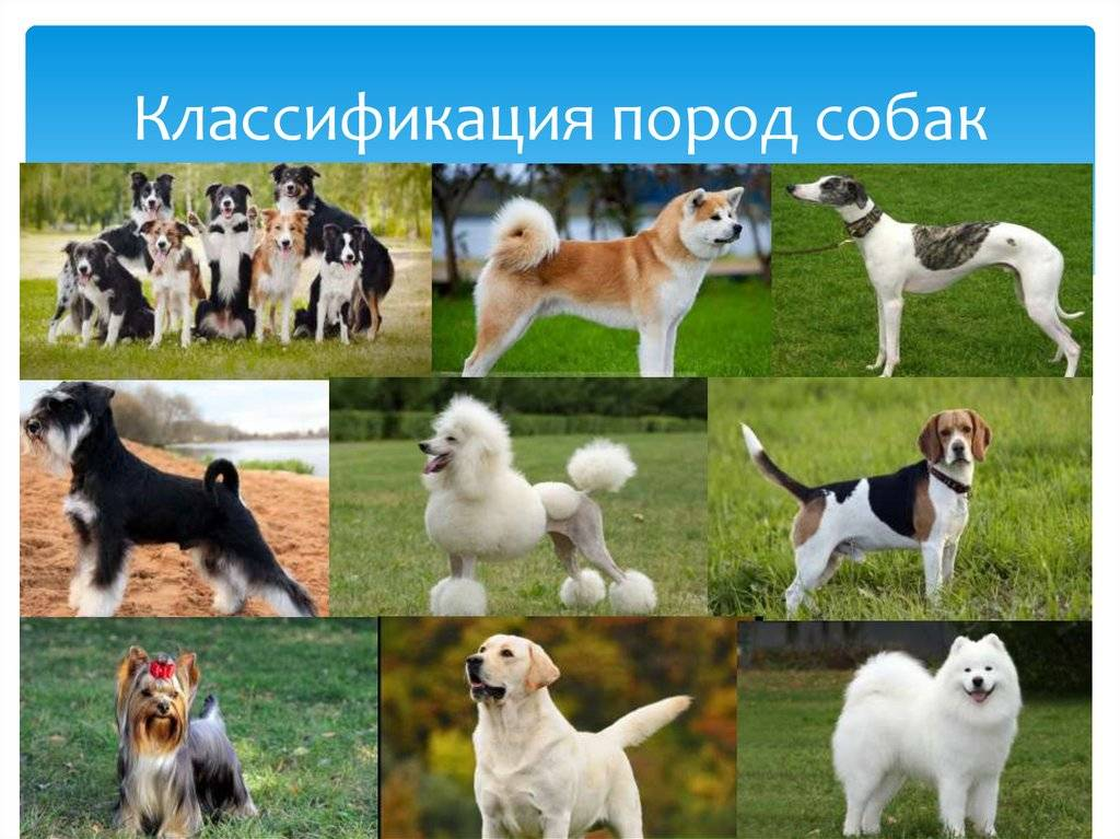 Средние породы собак: список представителей с фотографиями, названиями, описаниями и ценами