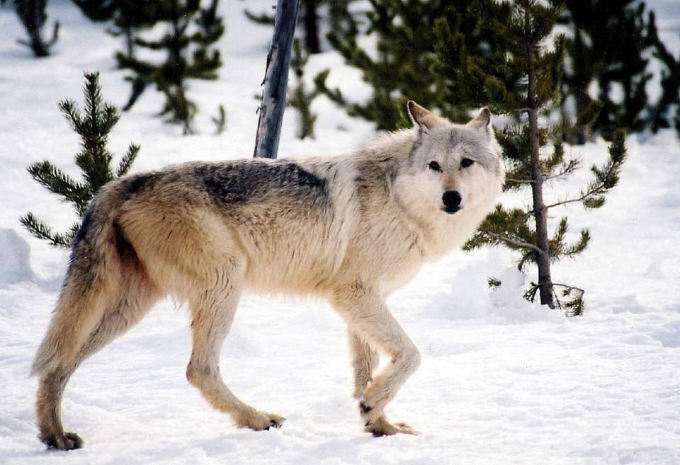 Чем отличаются волки от собак: в чем разница по внешности и размерам