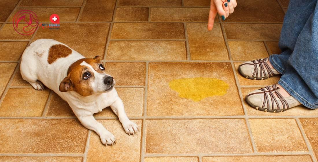 Щенок хаски часто писает. частое мочеиспускание у собак. частое мочеиспускание у собак и возраст - новая медицина