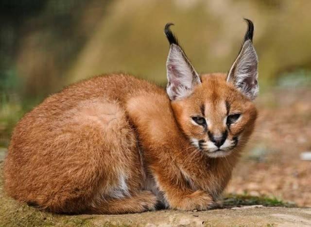 Кошки, похожие на рысь: описание пород домашних котов, напоминающих диких и сколько они стоят