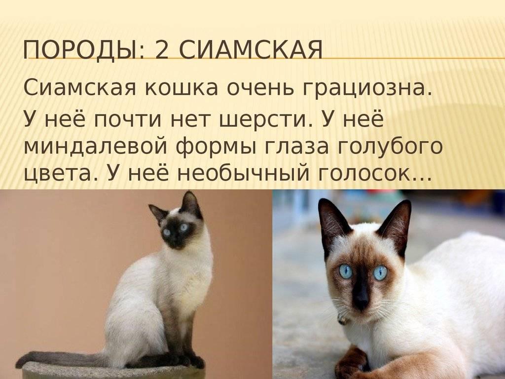 Сиамская кошка: описание и характер породы, основы ухода, фото