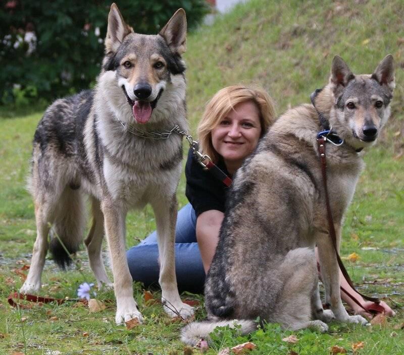 Чехословацкая волчья собака: волк с нежным характером