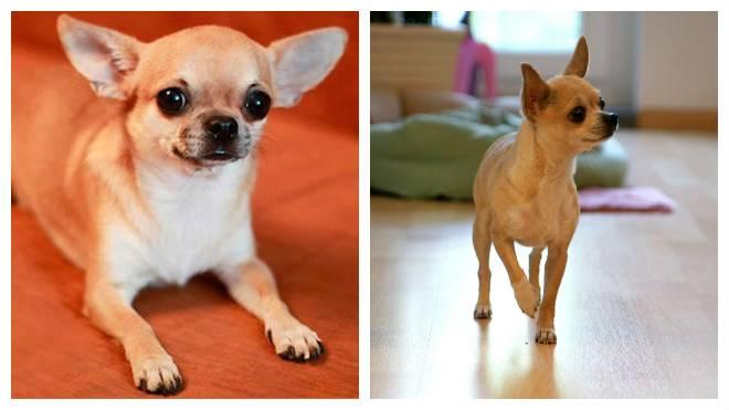 Стандартная продолжительность жизни собачек породы чихуахуа дома и на улице