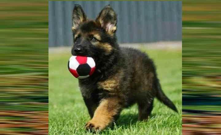 Кличка для немецкой овчарки: особенности и правила выбора имени для собаки, как называть мальчиков и девочек