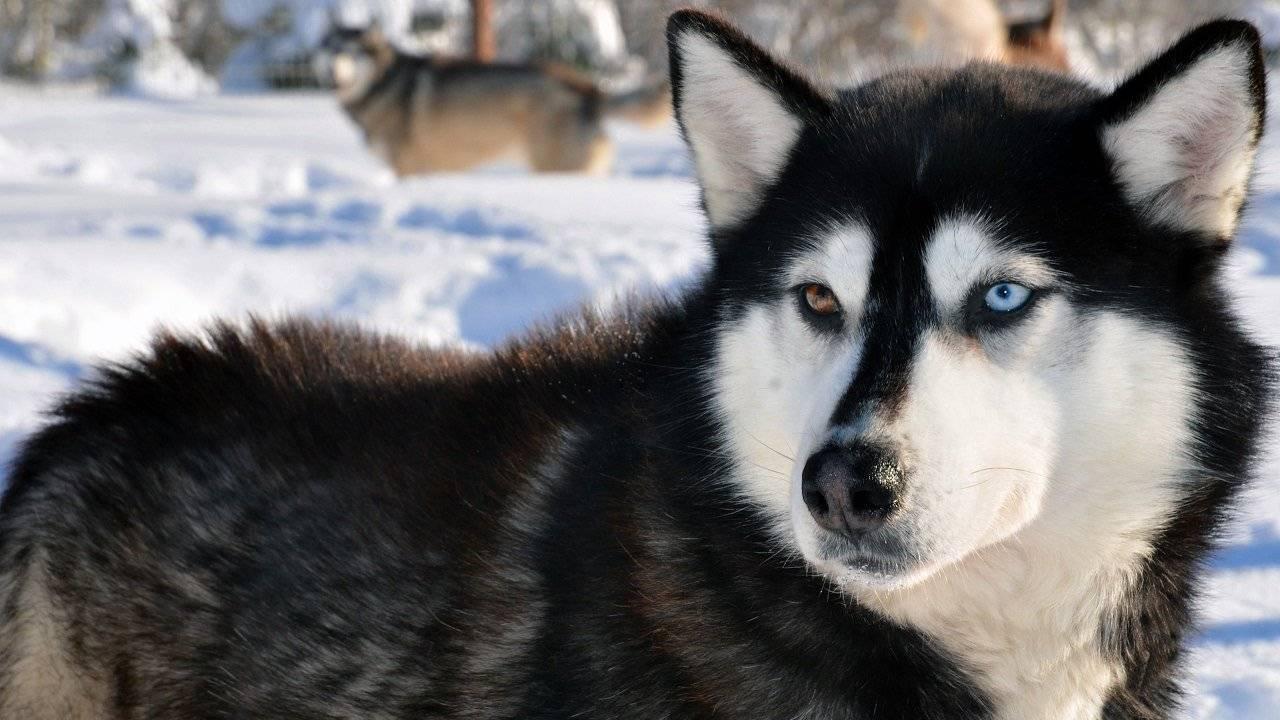 Хаски с голубыми глазами (18 фото): красивые голубоглазые щенки и взрослые собаки. когда глаза у них становятся голубыми?