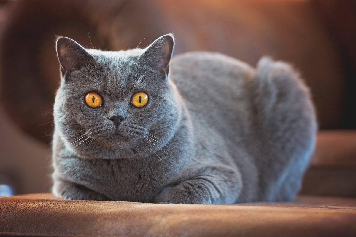 Британская короткошерстная кошка: фото, описание породы, окрасы и отзывы