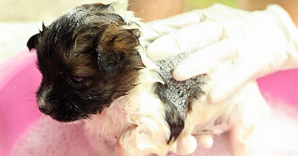 Как купать хаски: как правильно и как часто можно мыть собаку?
