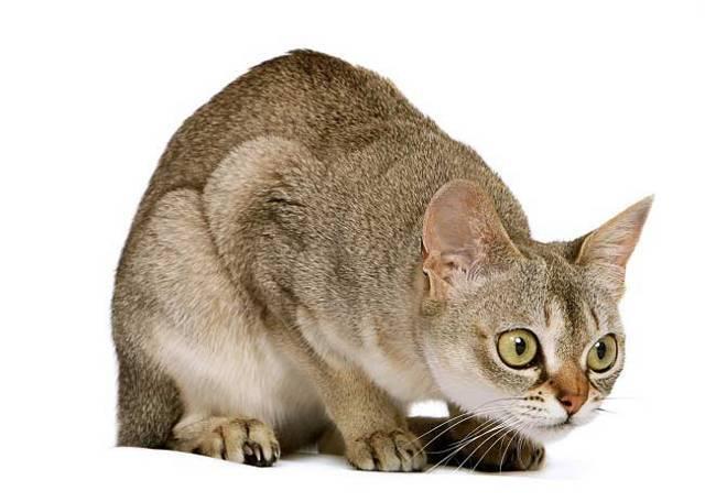 Сингапурская (сингапура) кошка: описание породы, характер, содержание и уход, цена, фото