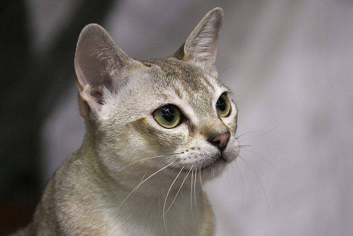 Сингапурская кошка – как правильно кормить животное, какие болезни могут возникнуть у питомца?