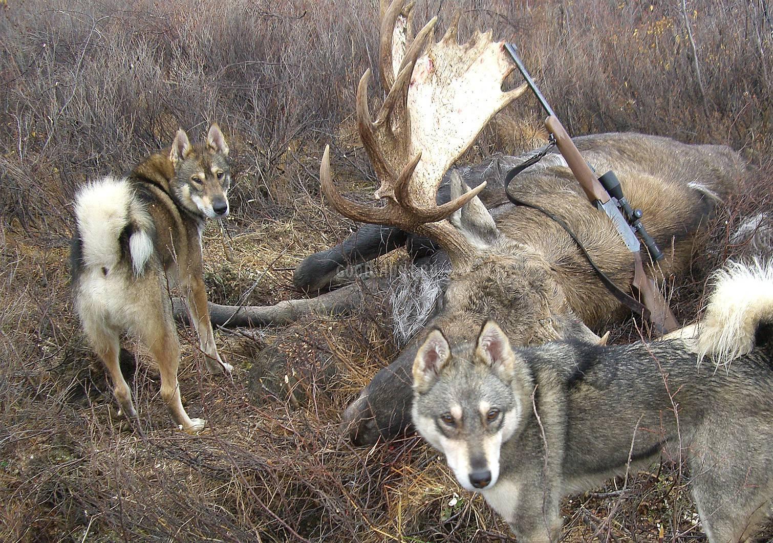 Ходовая охота на лося с лайкой - охотничий портал