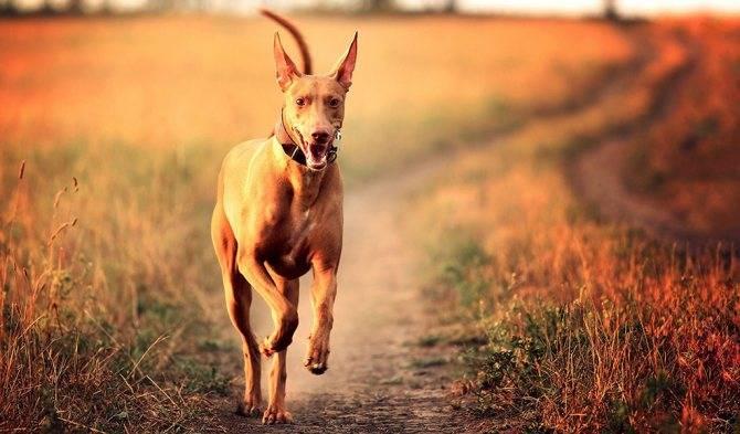 Фараонова собака — описание породы, характеристика, уход, фото …