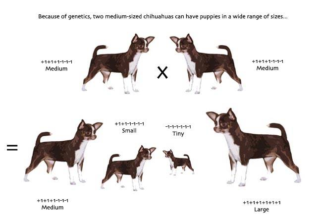 Виды и разновидности породы собак чихуахуа
