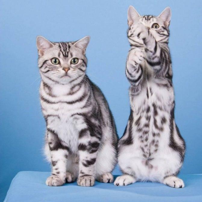 Описание породы кошек американская короткошерстная