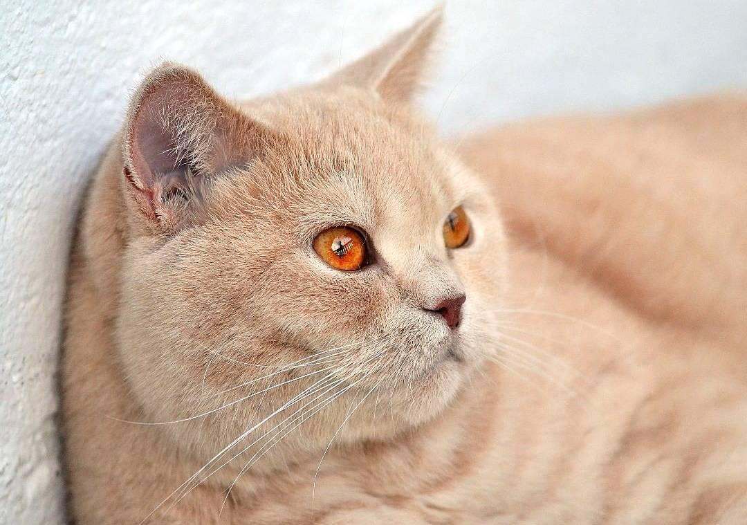 Британский короткошерстный кот: особенности ухода