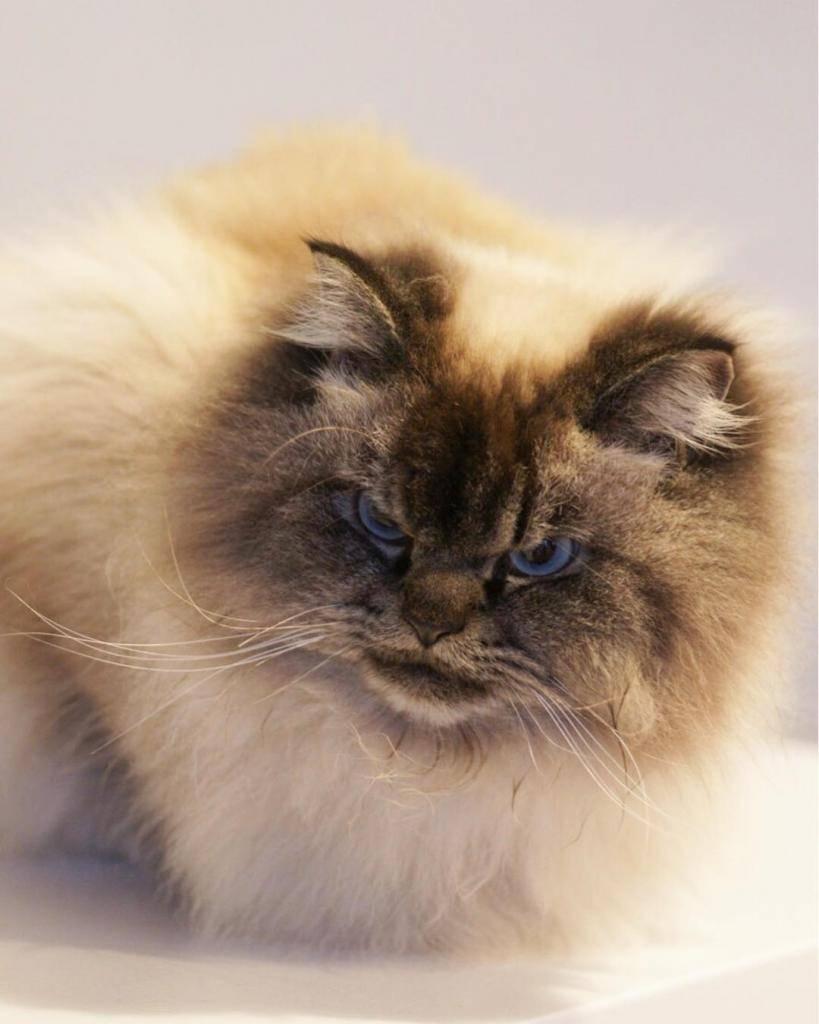 Названы 10 самых злых пород кошек